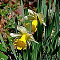 Daffodil Buddies by Paul Mashburn