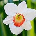 Daffodil by Cynthia Guinn
