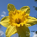 Daffodil Days  by Neal Eslinger