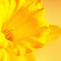 Daffodil by Erin McCandless