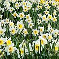 Daffodil Field 2 by Susan Cole Kelly