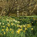 Daffodil Field by Beverly Cash