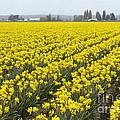 Daffodil Field by John Shaw