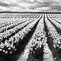 Daffodil Fields II by Mark Kiver