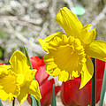 Daffodil Flowers Art Prints Spring Daffodils Red Tulip Garden by Baslee Troutman