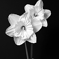 Daffodil Flowers Black And White by Jennie Marie Schell