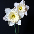 Daffodil Flowers Still Life by Jennie Marie Schell
