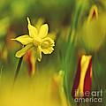 Daffodil by Heiko Koehrer-Wagner