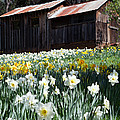 Daffodil Hill by Joe Fernandez