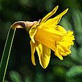 Daffodil - Impressions by Susie Peek