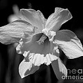 Daffodil In Black And White by Kitrina Arbuckle