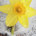 Daffodil In Spring Snow by Adam Romanowicz