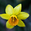 Daffodil In The Dark by Jeff Picoult