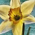 Daffodil by Jeffrey Kolker