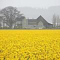 Daffodil Haze by Jim Romo