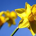 Daffodil Line by Sarah OToole