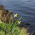 Daffodil by Pati Photography