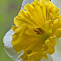 Daffodil by Randy Walton