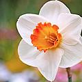 Daffodil  by Rona Black