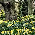 Daffodil Spring by JC Findley