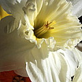 Daffodil Still Life by Kenny Glotfelty