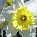 Daffodil Sunshine by Elvis Vaughn