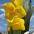 Daffodills In Spring by Angela Sullivan