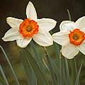 Narcissus Tazetta  by Howard Tenke