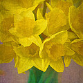 Daffodils 10 by Pamela Cooper