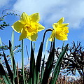 Daffodils 2 by John Chatterley