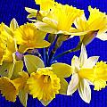 Daffodils 3 by Ron Kandt