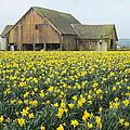 Daffodils And Barn by Bob Stevens