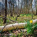Daffodils And Birch by Dawn OConnor