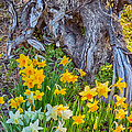 Daffodils And Sculpture by Omaste Witkowski