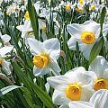 Daffodils by Brian Caldwell