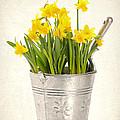Daffodils by Amanda Elwell
