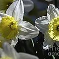 Daffodils by Elvis Vaughn