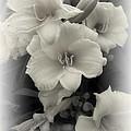 Daffodils Emerge by Daniel Hagerman