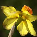 Daffodils Grace by Joy Watson