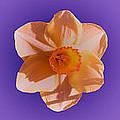 Daffodils by Heather Provan