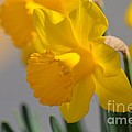 Daffodils In The Setting Sun by Maria Urso