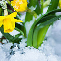 Daffodils In The Snow  by Parker Cunningham