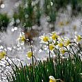 Daffodils On The Shore by Patrick Herrera