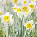 Daffodils by Steve Ball