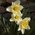 Daffs by Steve  Ondrus