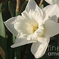 Dafodil192 by Gary Gingrich Galleries