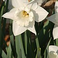 Dafodil217 by Gary Gingrich Galleries