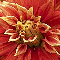 Dahlia - 2 by Paul Riedinger