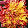 Dahlia - 757 by Paul W Faust -  Impressions of Light