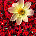 Dahlia And Kalanchoe by Garry Gay